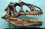 Allosaurus Fragilis Dinosaur Skull Replica