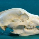 Alaska_Grizzly_Bear_Skull_replica_RS459-gDYXR-LLyMl-HXXlo