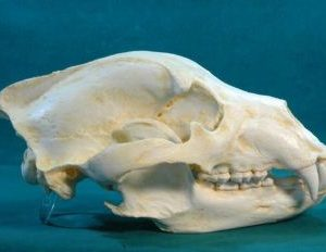Alaska Grizzly Bear Skull Replica