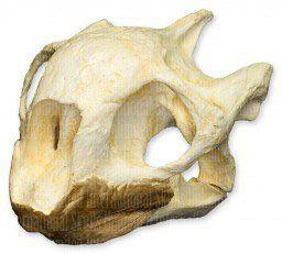 Aldabra Tortoise Skull