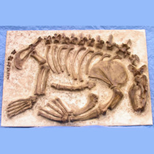 allodesmus kelloggi skeleton panel