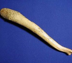 Allodesmus Baculum Fossil Replica