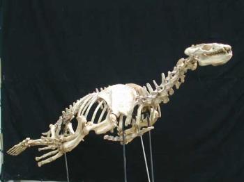 Allodesmus kelloggi Unmounted Skeleton