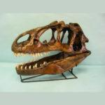 allosaurus fragilis dinosaur skull