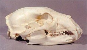 American Black Bear Skull Replica