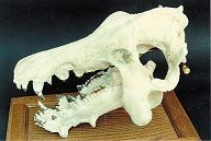 Archaeotherium Skull Replica
