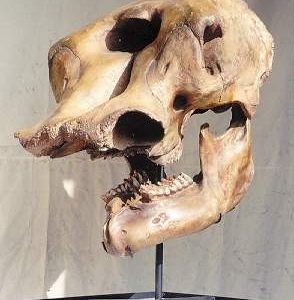 Mastodon Skulls and Teeth