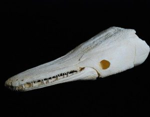 Alligator Gar Fish Skull Cast Replica Model