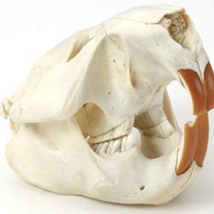 North American Beaver Skull Replica