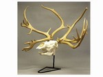 Reindeer and Moose Skulls Replicas