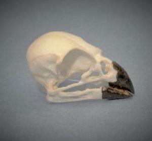 Large Tree Finch Bird Skull