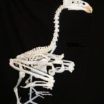 California Condor Skeleton Replica