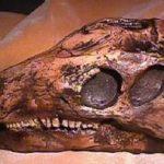 Camptosaurus Dinosaur Skull Replica
