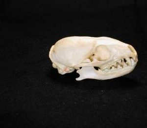 Cape Gray Mongoose Skull Replica