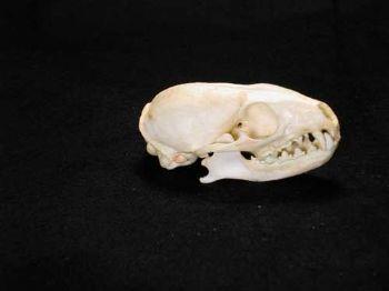 Cape Gray Mongoose Skull Replica