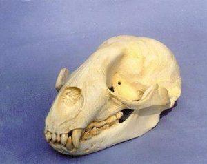 Carribbean Monk Seal Skull