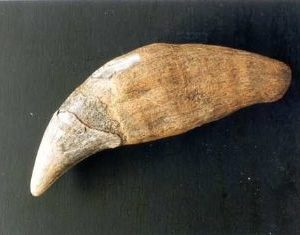 Cave Bear Canine Replica