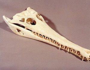 slender snouted crocodile skull