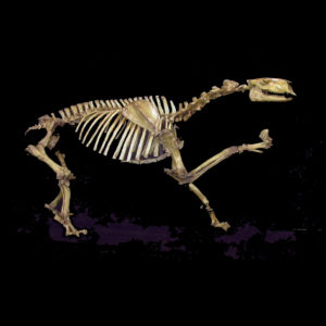Chalicothere Moropus Elatus Skeleton