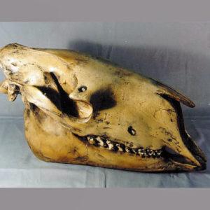 Chalicothere Moropus Elatus Skull