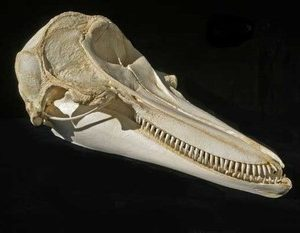 Pacific White Sided Dolphins Skulls Replicas Models