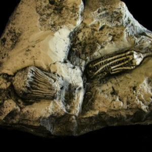 Crinoid-Dizygocrinus-Hisforcrinus-Plaque