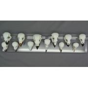 Darwins Finches - Set of twelve Skulls