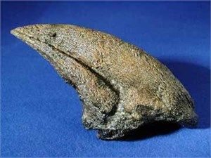 Daspletosaurus Dinosaur Claw Replica