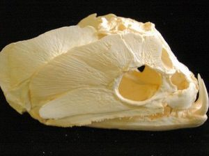 Payara Wolf Fish Skull Cast Replica Model