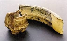 Diprotodon Tooth Molar Replica
