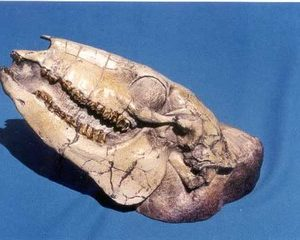 Oliogocene Camel Skulls Replica Model
