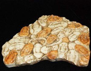 Homotelus Bromidensis Trilobite Replica