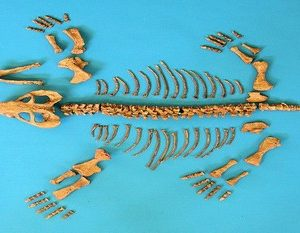 Dicynodontian Skeleton Disarticulated