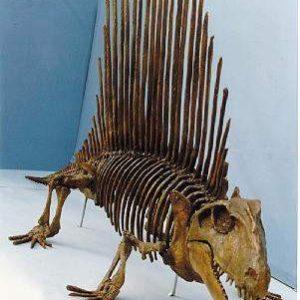 Dimetrodon Limbatus Hayashibara Complete Skeleton Replica