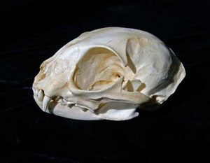 Black Footed Cat Skull