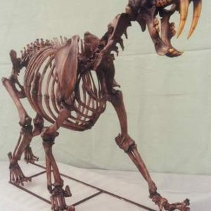 Sabertooth Cat Complete Skeleton Cast Replica Models