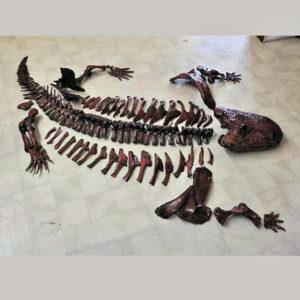eryops megacephalus disarticulated skeleton