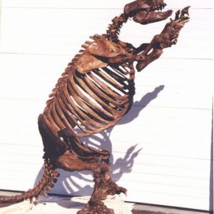 Glossotherium Harlans Ground Sloth Complete Mounted Skeleton Cast Replica Models