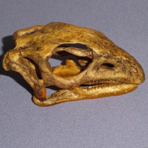 gasparinisaura cincosalternis skull