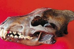 Dire Wolf Skull Cast Replica Models