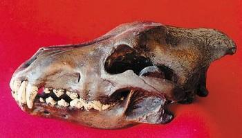 Dire Wolf Skull Cast Replica Models