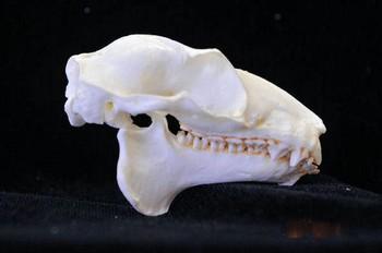 Philippine Flying Lemur skull Replica
