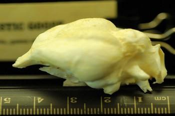 Domestic Goose Brain Cast Replica
