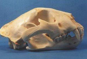 African Leopard Skulls Replicas Models