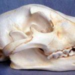 Jaguar Skulls Replicas Models