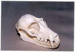 Bats Skulls Replicas Models