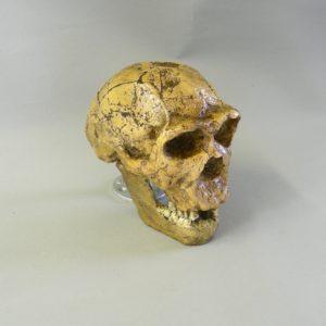 homo ergaster KNM-ER 3733 skull
