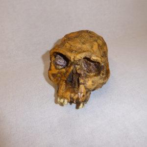 homo habilis KNM-ER 1813 skull
