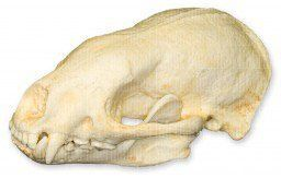 honey badger skull replica