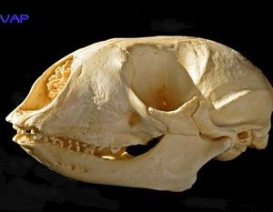 Bearded Seal Skulls Replicas Models